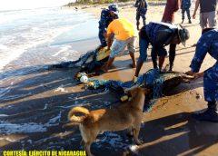 Ocupan y liberan tortugas Carey en Sandy Bay Sirpi