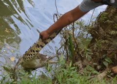Liberan cuajipal en hacienda Altamira de Siuna